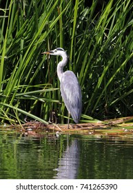 A Grey Heron standing in reeds on the River Thames in England riverside (Ardea Cinerea)