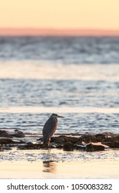 Grey Heron standing at sunset by the coast