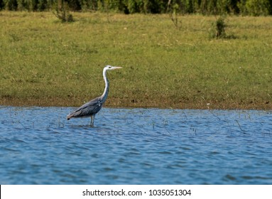 Grey heron standing tall inside the kabini river on the edges during a boat ride inside nagarhole national park
