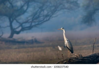 A grey heron standing tall on a branch and looking the horizon and looking out for trouble inside bharatpur bird sanctuary