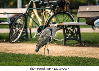 A Grey heron stands next to a path at Vondelpark, in Amsterdam, North Holland, the Netherlands. In the background are park benches and a bike. Wildlife, bird, in unnatural environment.