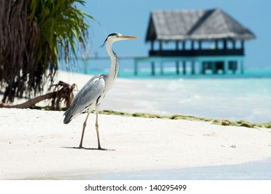 Grey Heron stands on the beach near the sea with the house on the background