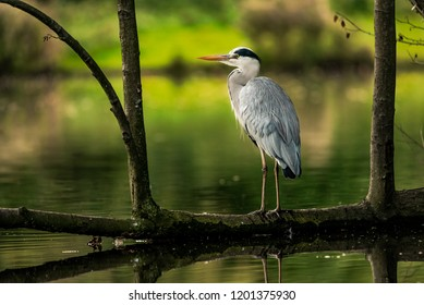 Grey heron stands on a fallen tree above the water in Vondelpark, Amsterdam. Wildlife and birdwatching in North Holland, the Netherlands.
