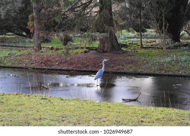 Grey Heron stands on a frozen pond