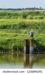 A grey heron in the swamp