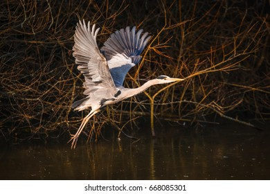 Grey Heron takes to the sky above a mill pond