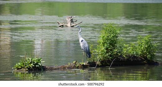 Grey heron in a tree in water