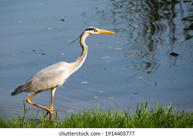 Grey Heron wading through the waters of a Lake