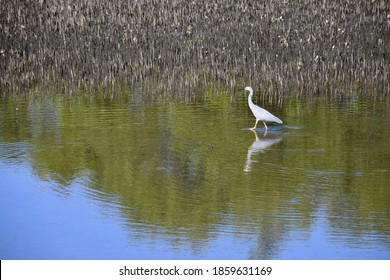A grey heron is walking through a pond, creating ripples. Brown reeds are to one side. Some trees and the sky are reflected in the water.