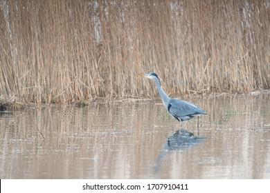 Grey heron walking in water fishing