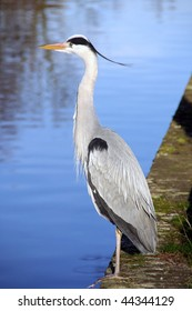 A grey heron at the waterfront
