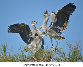 Grey herons (Ardea cinerea) bickering in a tree in the Camargue is a natural region located south of Arles, France, between the Mediterranean Sea and the two arms of the Rhône delta