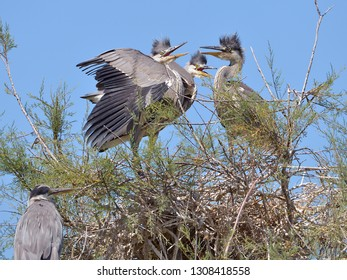 Grey herons (Ardea cinerea) in nest in the Camargue is a natural region located south of Arles, France, between the Mediterranean Sea and the two arms of the Rhône delta