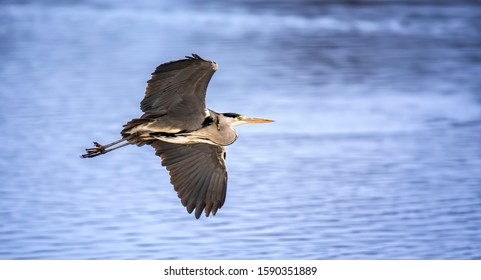 Grey herons flying, flies over the water looking for food, habitat, Ardea cinerea, the best photo.