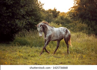 Grey horse appaloosa trotting in green grass by sunset