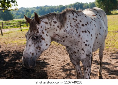 Grey horse with black dots on a meadow in the shadow of some trees