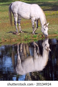 Grey horse drinking from a pond