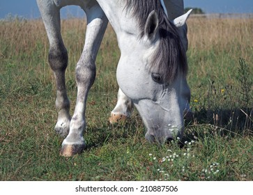 A grey horse grazes on to the meadow