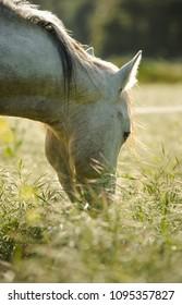 Grey horse grazing in long green grass