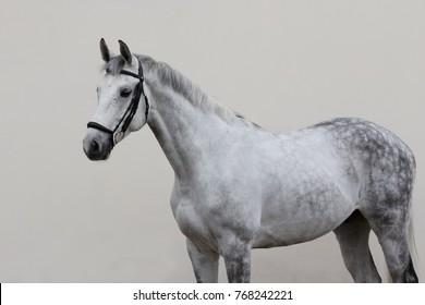 Grey horse isolated on light background