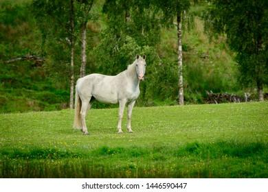 A grey horse in a paddock loking at the camera.