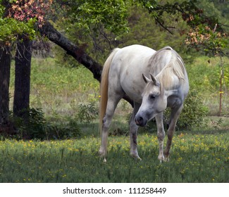 Grey Horse in Pasture