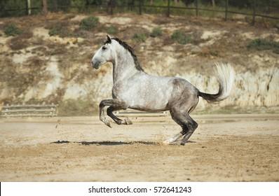 Grey horse playing