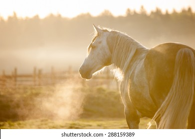 grey horse portrait in foggy cold sunrise with the steam from the nostrils