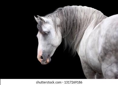 Grey horse portrait on black background
