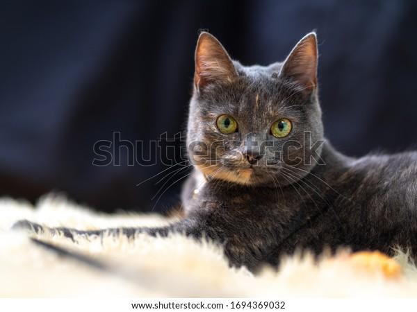 Grey house cat lying on the carpet