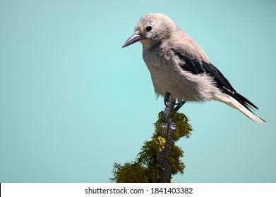 Grey Jay (Perisoreus canadensis), Canada