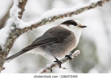 Grey jay (Perisoreus canadensis), also gray jay, Canada jay, camp robber, or whisky jack in winter