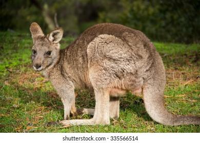 grey kangaroo - Grampians Australian national park