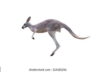 grey kangaroo jumping isolated on white background