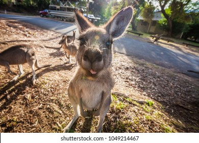 Grey Kangaroo showing its tongue