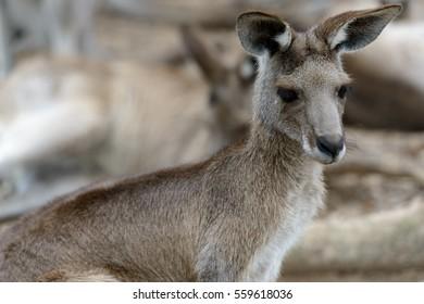 Grey Kangaroos