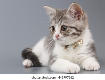 Grey kitten with a bow on his neck sitting on a grey background. Portrait of the Scottish cat.