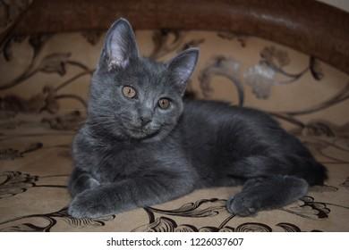 Grey kitten cat portrait. Cute little cat portrait. Cat posing. Gray kitten portrait
