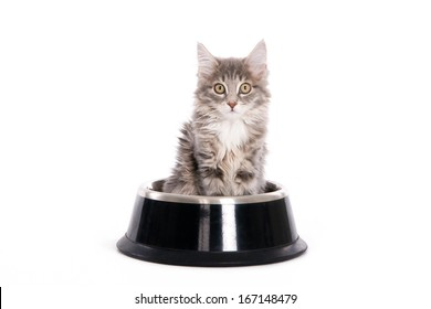 Grey kitten in a dog's bowl isolated on white