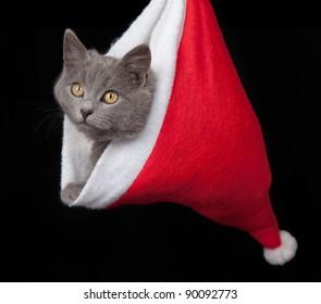 grey kitten hides inside of a red santa hat on black background