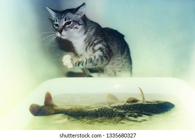 Grey kitten hunts big fish. Little cat trying to catch carp. Prey the predator can not handle. The funny pet is trying to pull the fish out of the water