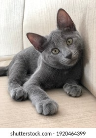 Grey kitten looking inquisitively into the camera.