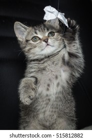 Grey kitten playing with a paper bow.