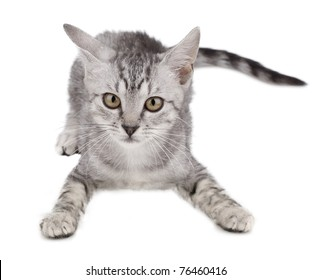 Grey kitten playing and white background