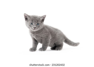 Grey kitten standing and looking at a camera on a white background