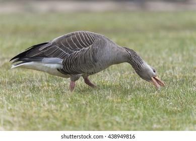 Grey lag goose iceland