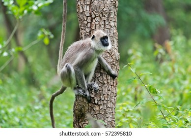 Grey Langur or Hanuman Langur in Bandipur national park,Karnataka,India.
