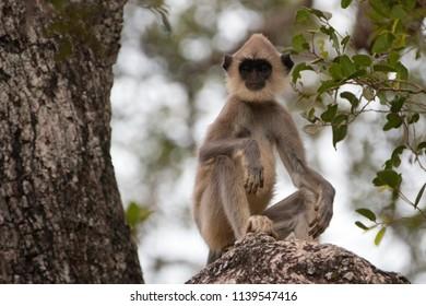 Grey Langur Monkey in Wilpattu National Park in Sri Lanka Asia