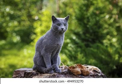 Серый маленький кошка породы Русский Синий сидит на скалах