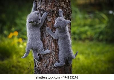 Grey little cat breed Russian Blue sitting on the rocks